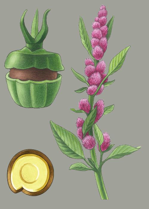 Botanical / Illustration von Amaranth