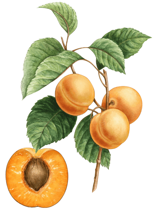 Botanical / Illustration von Aprikosen