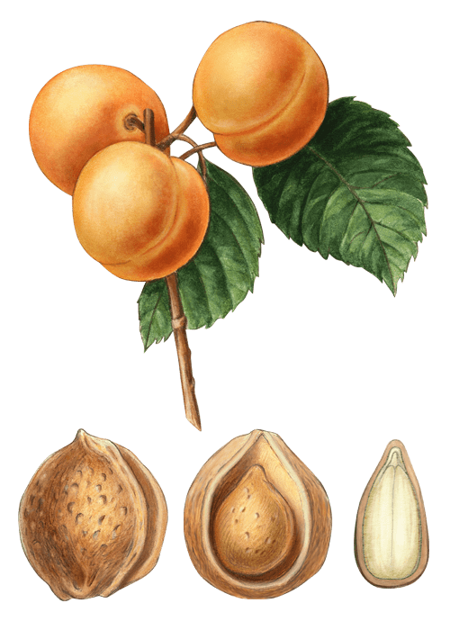 Botanical / Illustration von Aprikosenkerne