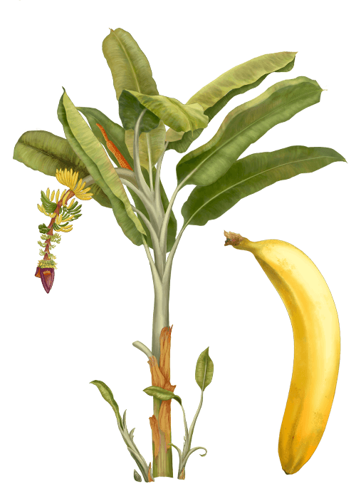 Botanical / Illustration von Bananenchips