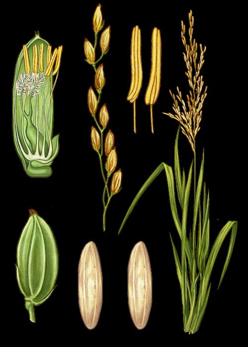 Botanical / Illustration von Basmatireis