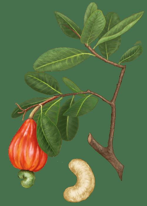 Botanical / Illustration von Cashewkerne