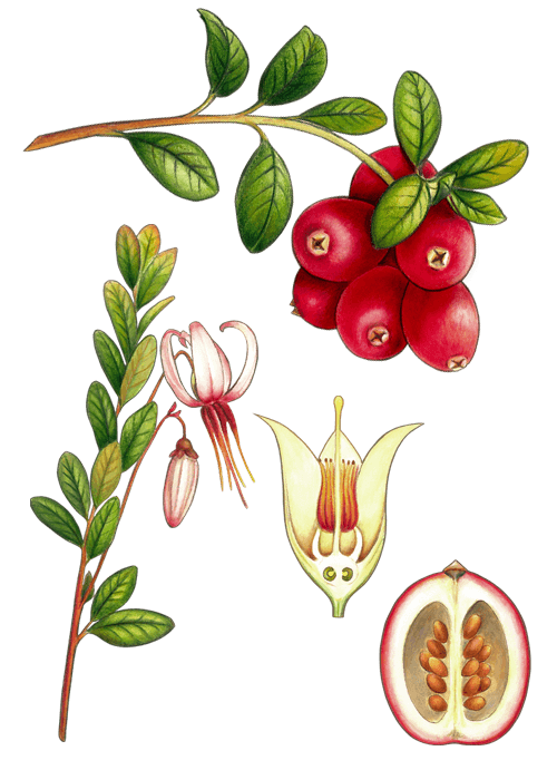 Botanical / Illustration von Cranberries