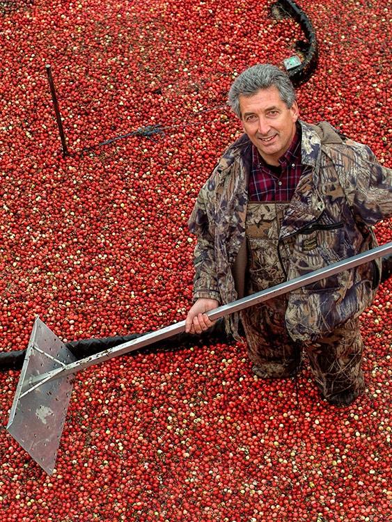 Nassernte der Cranberry