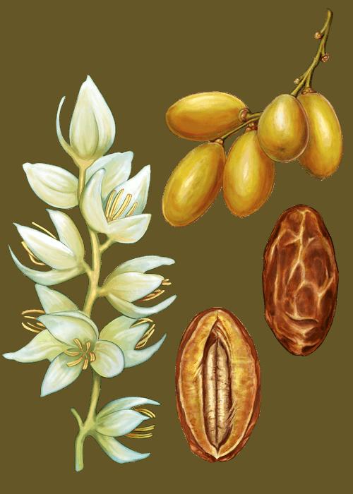 Botanical / Illustration von Datteln