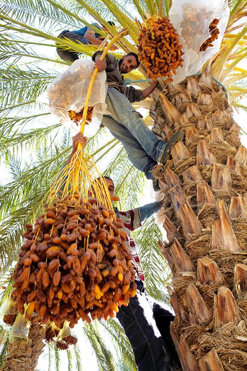Ernte der Dattel am Baum (Bild)