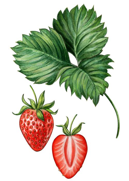 Botanical / Illustration von Fruchtliebe Erdbeere 75%