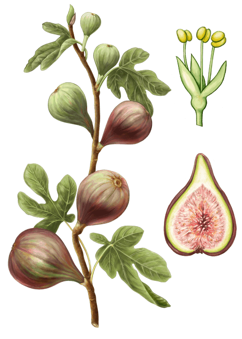 Botanical / Illustration von Feigen