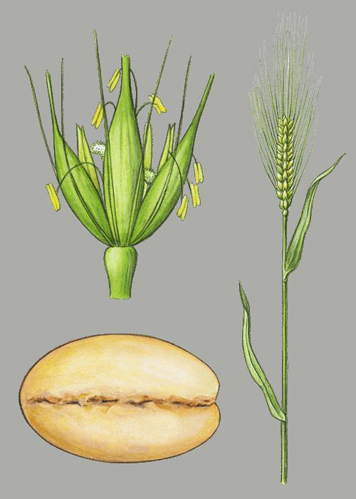 Botanical / Illustration von Gerstengraupen