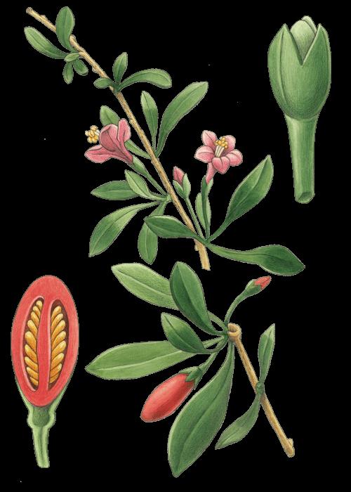 Botanical / Illustration von Gojibeeren