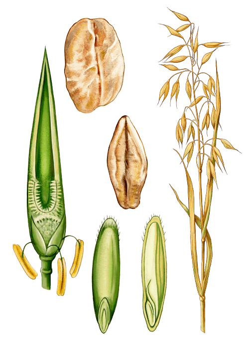 Botanical / Illustration von Kernblattflocken