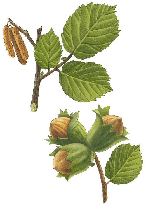 Botanical / Illustration von Haselnusskerne