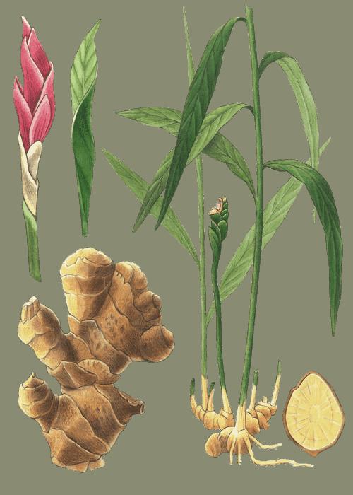Botanical / Illustration von Ingwer Goldstücke