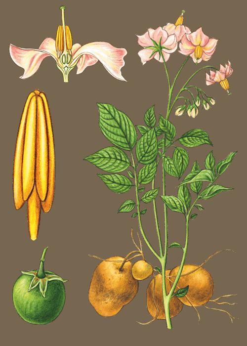 Botanical / Illustration von Kartoffelpüree