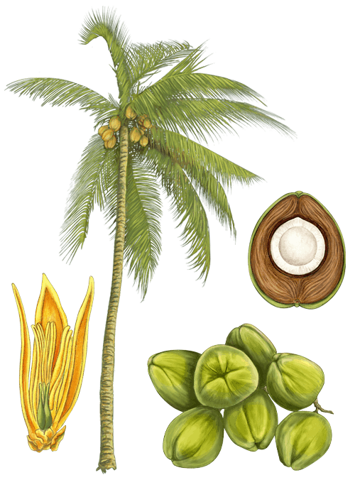 Botanical / Illustration von Kokoschips