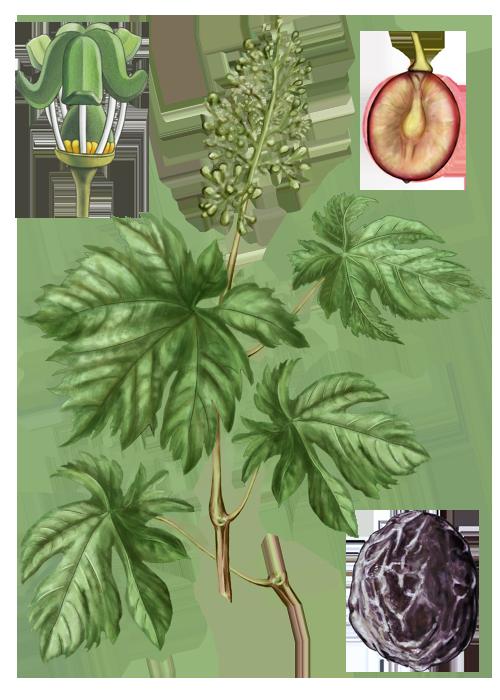 Botanical / Illustration von Korinthen