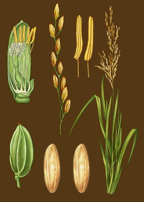Botanical / Illustration von Langkorn Naturreis