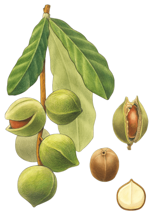 Botanical / Illustration von Macadamia Nusskerne