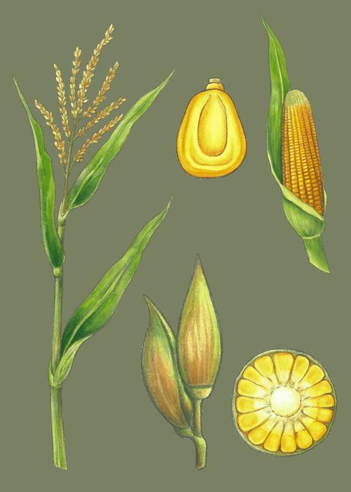 Botanical / Illustration von Popcorn
