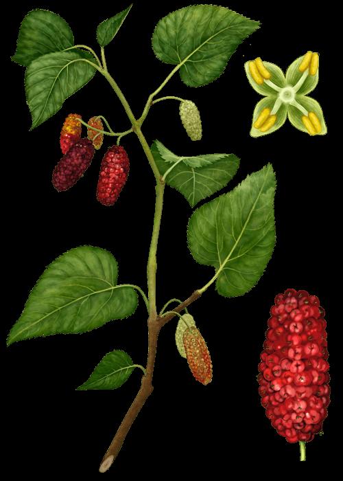 Botanical / Illustration von Maulbeeren