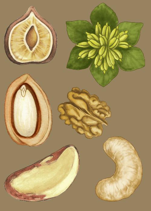 Botanical / Illustration von Nusskernmischung