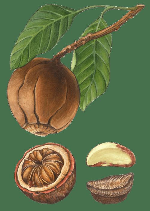 Botanical / Illustration von Paranusskerne