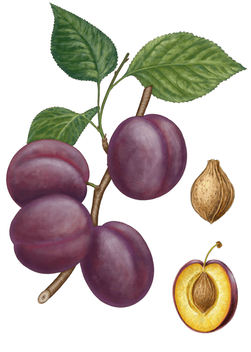 Botanical / Illustration von Pflaumen