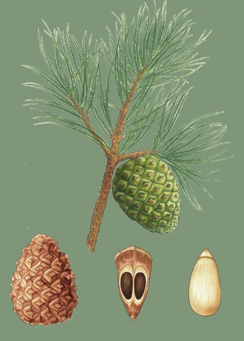 Botanical / Illustration von Pinienkerne