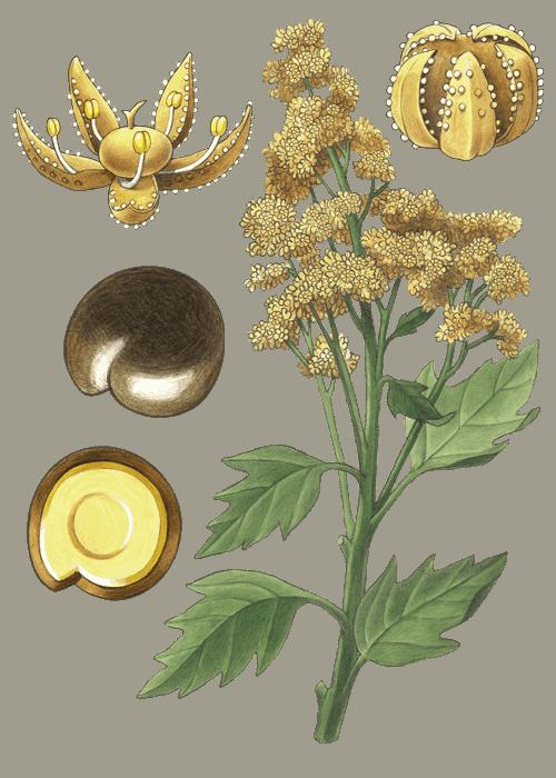 Botanical / Illustration von Quinoa