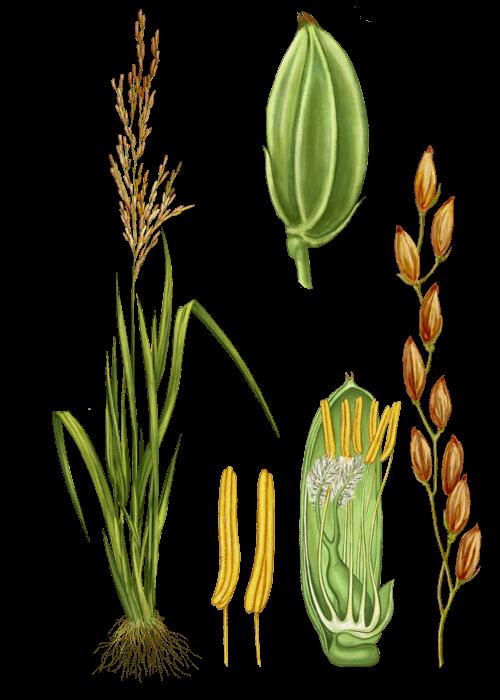 Botanical / Illustration von Reissirup