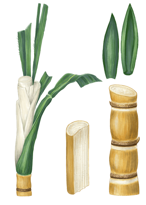 Botanical / Illustration von Rohrohrzucker