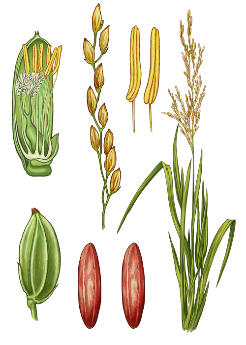Botanical / Illustration von Roter Reis