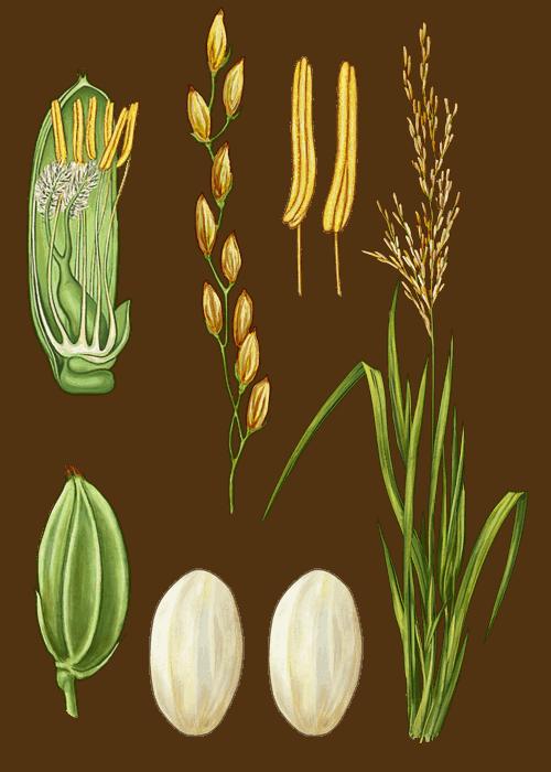 Botanical / Illustration von Parboiled Rundkornreis
