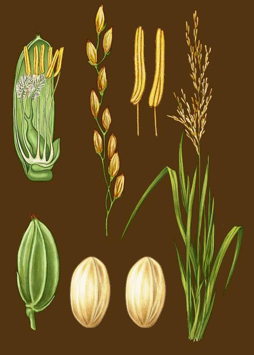 Botanical / Illustration von Camargue Naturreis