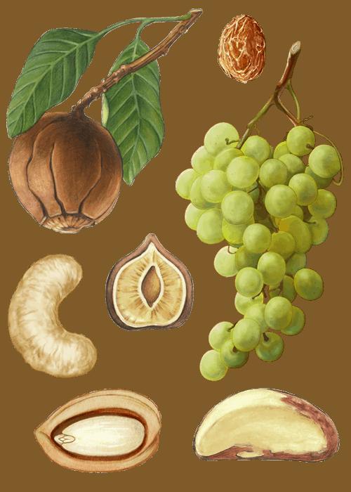 Botanical / Illustration von Studentenfutter