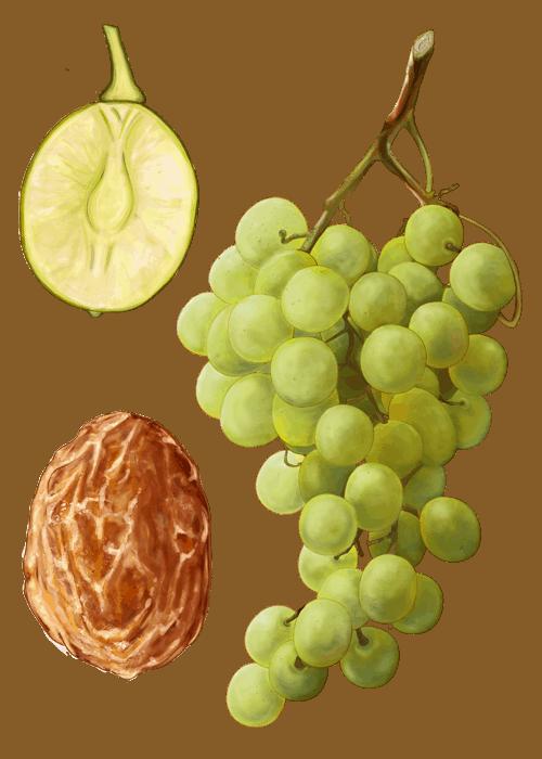 Botanical / Illustration von Sultanas
